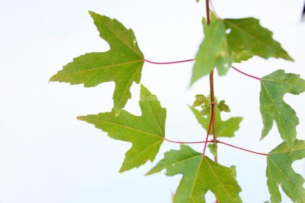 Acer buergerianum (Trident maple)