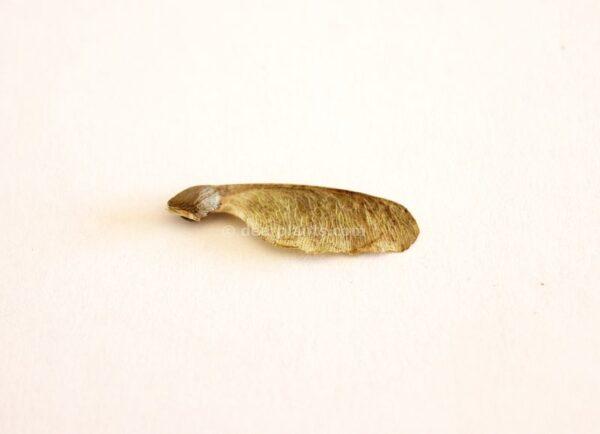 Acer buergerianum (Trident maple) seed