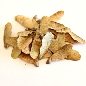 Acer buergerianum (Trident maple) seeds
