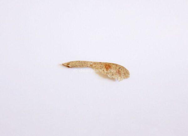 Acer negundo (Box elder maple, ash-leaved maple) seed