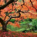 Acer palmatum (Japanese maple) - dear plants