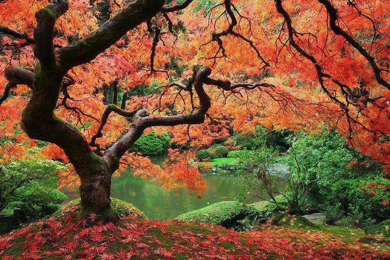 Acer palmatum (Japanese maple) - dear plants