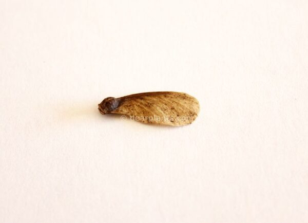 Acer palmatum (Japanese maple) seed