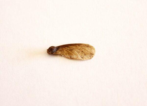 Acer palmatum (Japanese maple) seed
