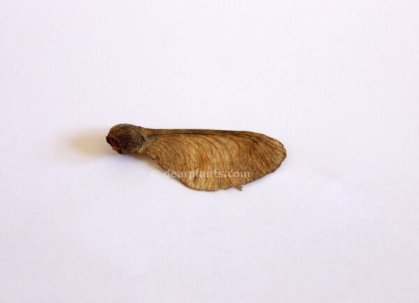 Acer pseudoplatanus (sycamore) seed