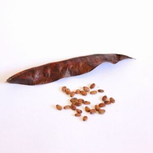 Cercis siliquastrum (Judas tree) seeds