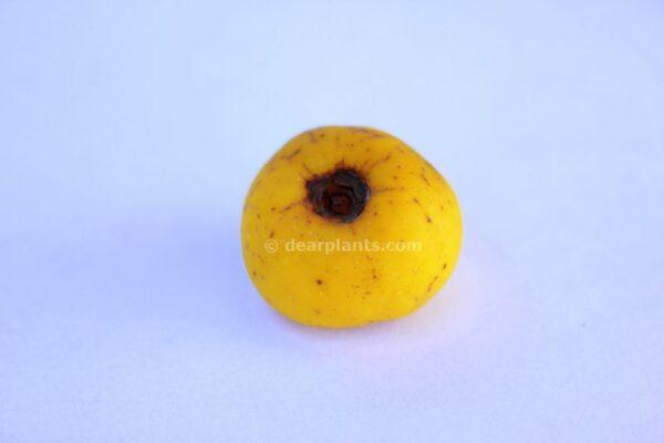 Chaenomeles japonica (Maule's quince) fruit