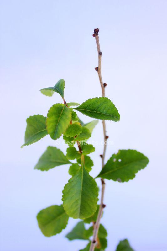 Chaenomeles japonica (Maule's quince)