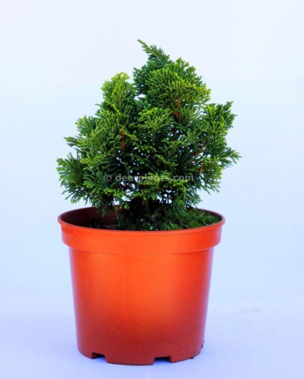 Chamaecyparis obtusa 'Nana Gracilis' (Hinoki Cypress)