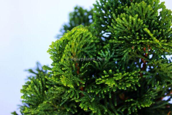 Chamaecyparis obtusa 'Nana Gracilis' (Hinoki Cypress) detail