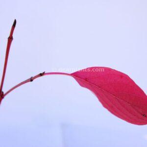 Cornus alba (red-barked dogwood)