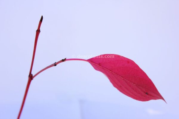 Cornus alba (red-barked dogwood)