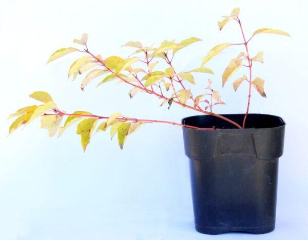 Cornus sanguinea (Common Dogwood)