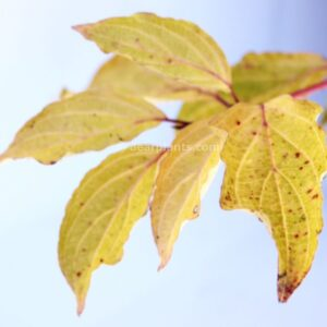 Cornus sanguinea (Common Dogwood) autumn leaves detail