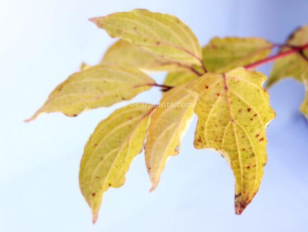 Cornus sanguinea (Common Dogwood) autumn leaves detail