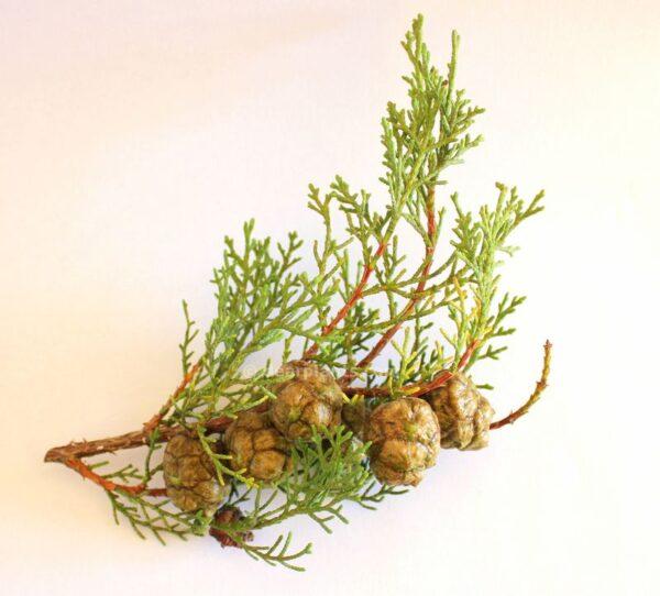 Cupressus sempervirens (Italian cypress)