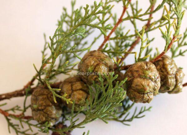Cupressus sempervirens (Italian cypress) seeds