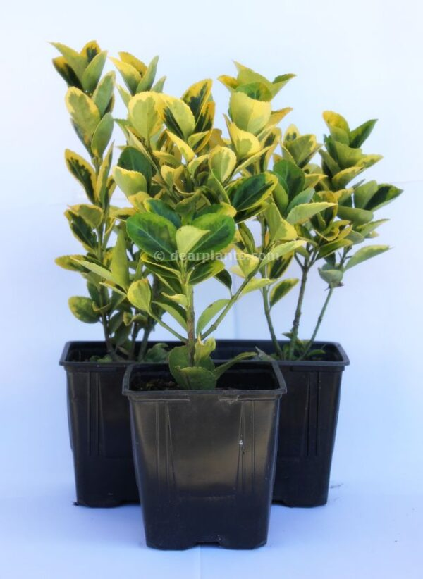 Euonymus fortunei 'Emerald 'n' Gold'-3x