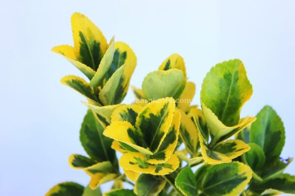 Euonymus fortunei 'Emerald 'n' Gold' leaves