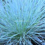 Festuca glauca (Blue fescue)