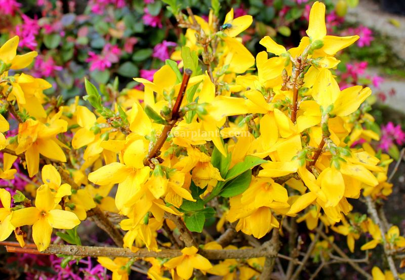 Forsythia (Easter tree)