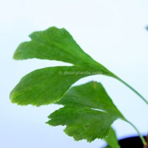 Ginkgo biloba (Maidenhair tree) leaves