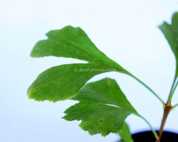 Ginkgo biloba (Maidenhair tree) leaves