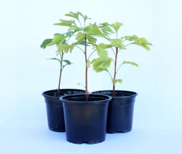 Ginkgo biloba (Maidenhair tree)-x3