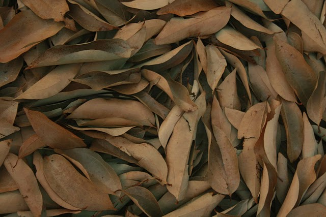 Laurus nobilis (Bay tree, Laurel) dry leaves to use as spice