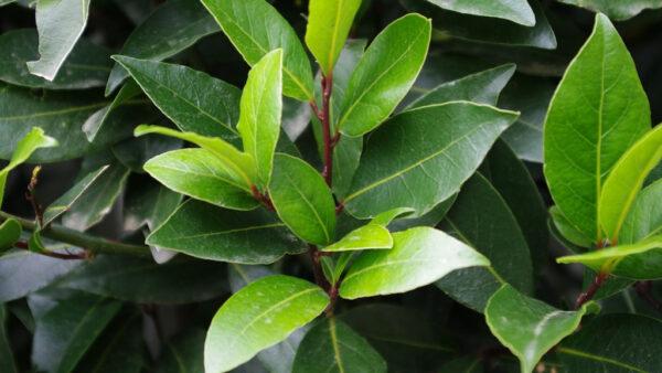 Laurus nobilis (Bay tree or Laurel) leaves