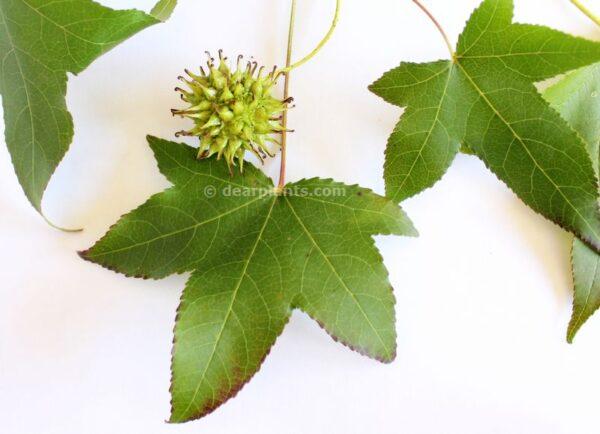 Liquidambar styraciflua (American sweetgum) seeds