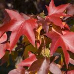 Liquidambar styraciflua fall colors