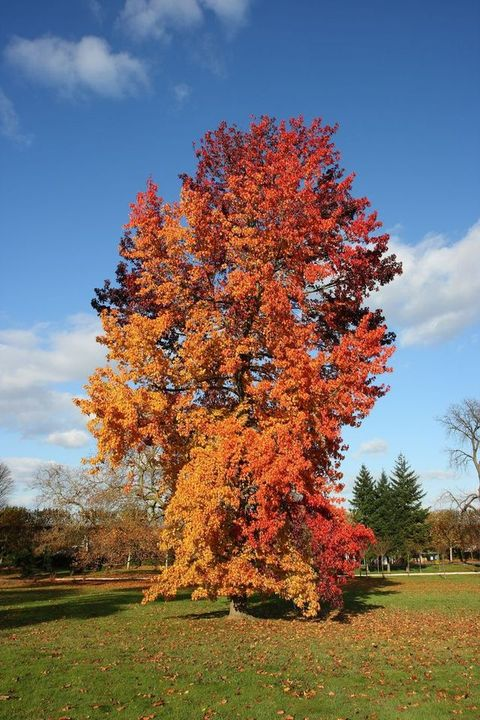 Liquidambar styraciflua in fall