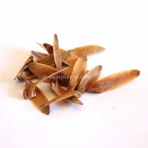 Liriodendron tulipifera (American tulip tree) seeds