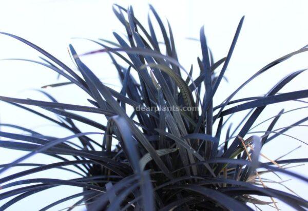 Ophiopogon planiscapus 'Nigrescens' (Black Mondo) plant