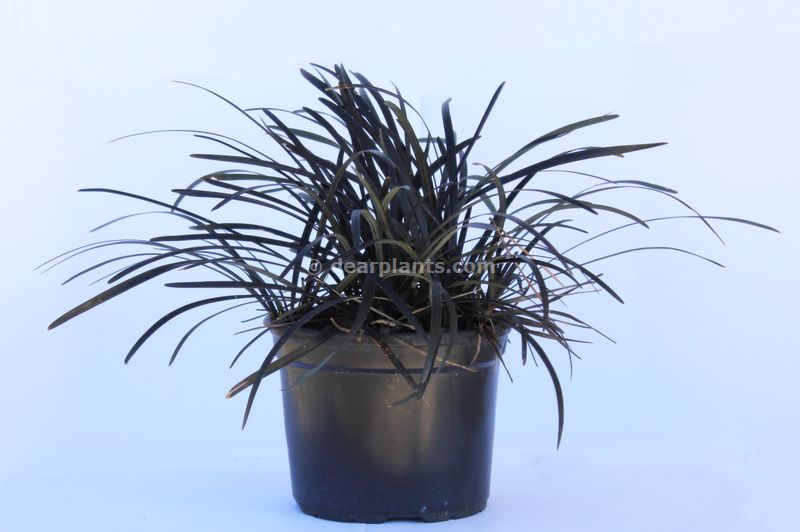 ophiopogon planiscapus 39 nigrescens 39 black mondo dear plants. Black Bedroom Furniture Sets. Home Design Ideas