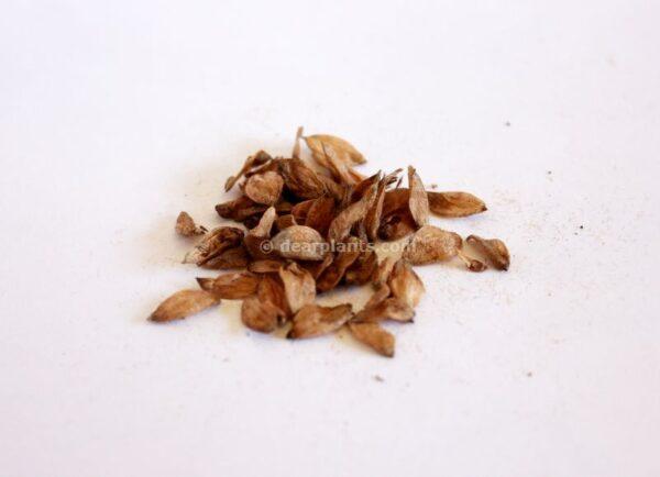 Ostrya carpinifolia (European hop-hornbeam) seeds
