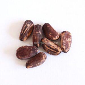 Pinus pinea (stone pine) - seeds