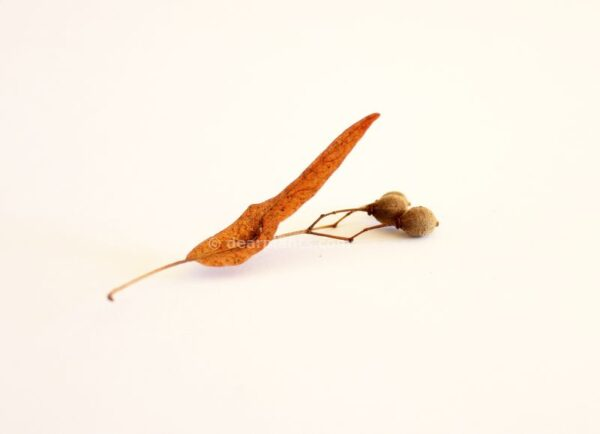 Tilia cordata (Little-Leaf Linden)