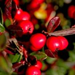 7 great shrubs for fall color