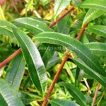 Aloysia citrodora (Lemon verbena, Lemon beebrush) leaves