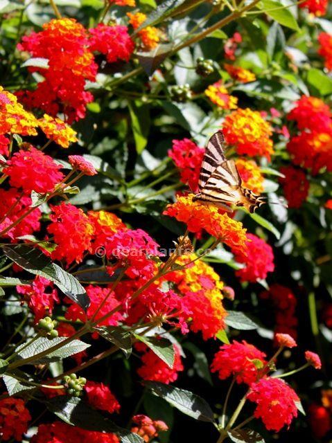 Lantana camara attract buterflies to your garden