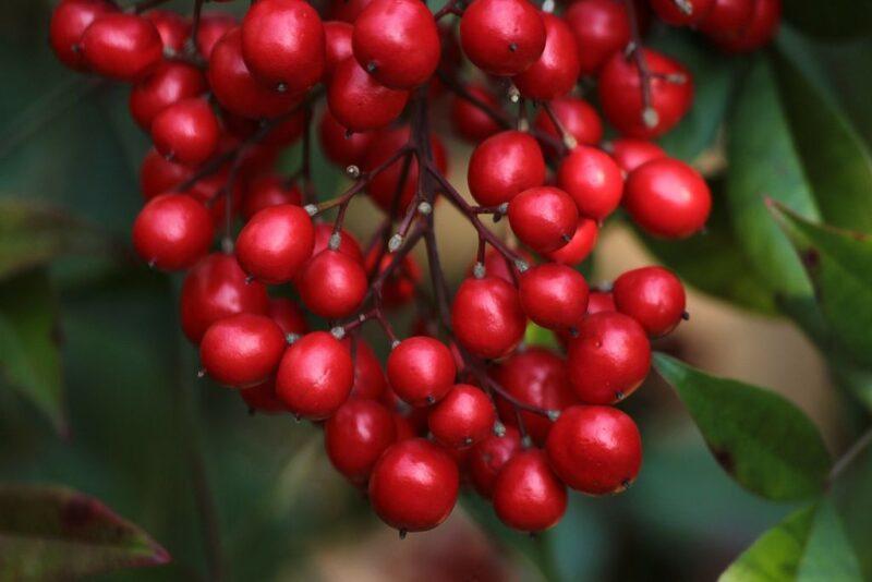 Nandina domestica berries in fall