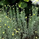 Santolina chamaecyparissus (Cotton lavender)