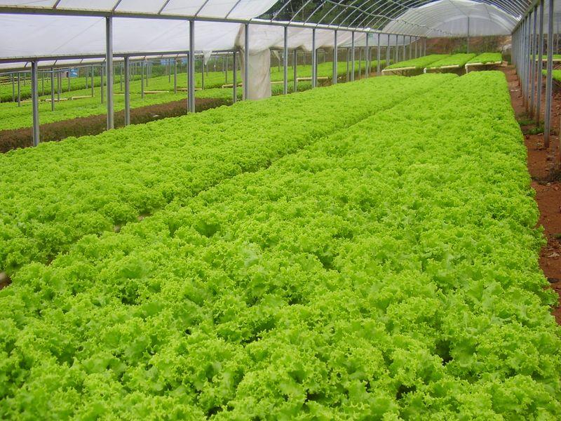 Lactuca sativa (Lettuce) production