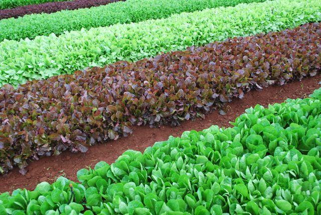 Lactuca sativa (Lettuce) purple and green leaves varieties