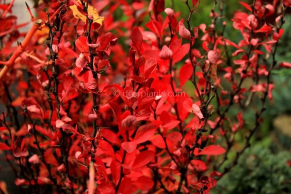 Berberis thunbergii f. atropurpurea (Purple Japanese Barberry) autumn red leaves