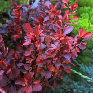 Berberis thunbergii f. atropurpurea (Purple Japanese Barberry) purple leaves