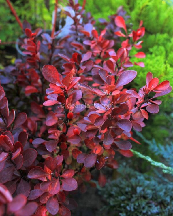 Berberis thunbergii f. atropurpurea (Purple Japanese Barberry) purple leaves