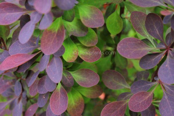 Berberis x ottawensis f. purpurea 'Superba' (Barberry Superba) Purple leaves